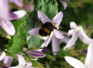 Plight of the bumblebee and other pollinators